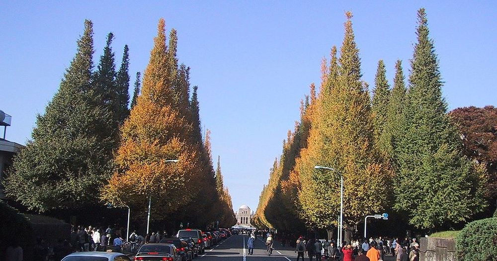 Ginkgo biloba  are almost exclusively urban trees cultivated by humans. In fall, the leaves turn bright yellow before dropping for the winter. Photo: Chris 73. Source: Wikimedia Commons.