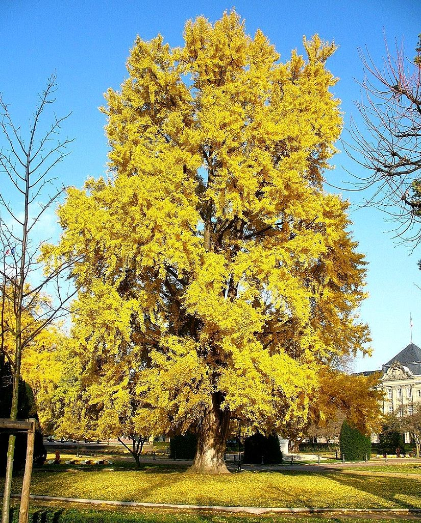 Ginkgo biloba turns brilliant yellow in fall. Photo: Ginkgotree. Source: Wikimedia Commons.