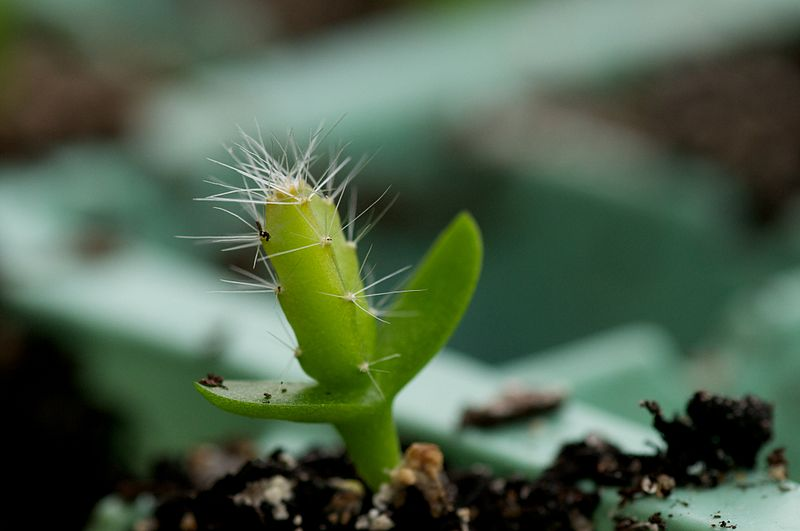 Cacti are dicotyledons, emerging from two seed leaves (cotyledons)