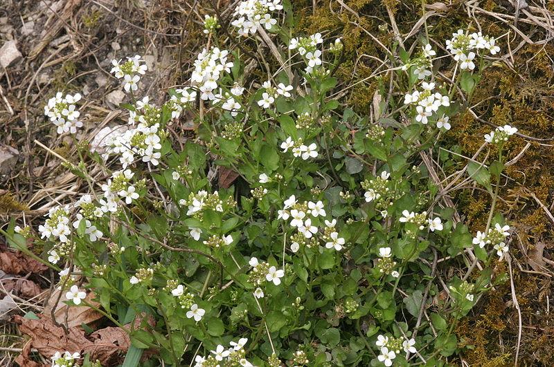 Arabidopsis halleri