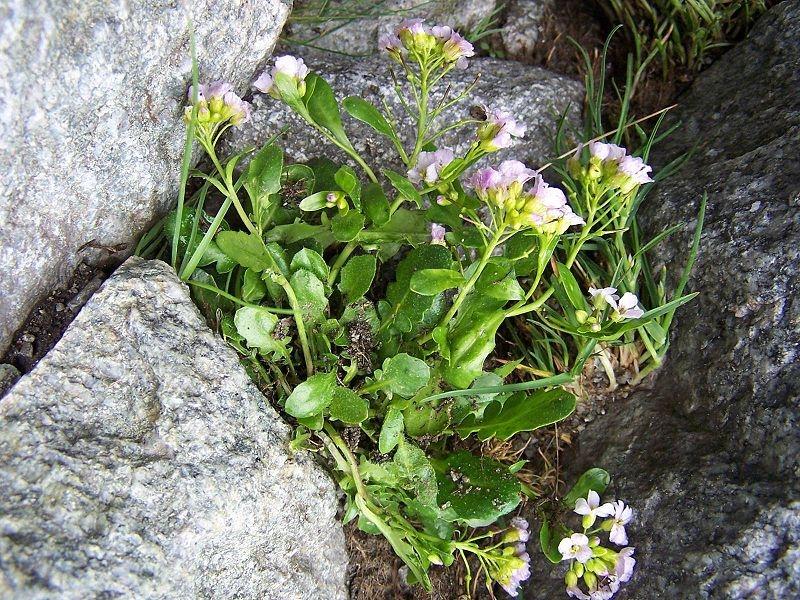 Arabidopsis neglecta