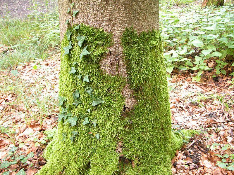 Polytricium in habitat