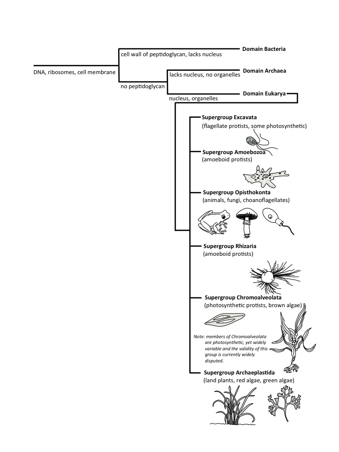 "Diversity of life and the International Society of Protists (2005) Eukarya ""supergroups""."