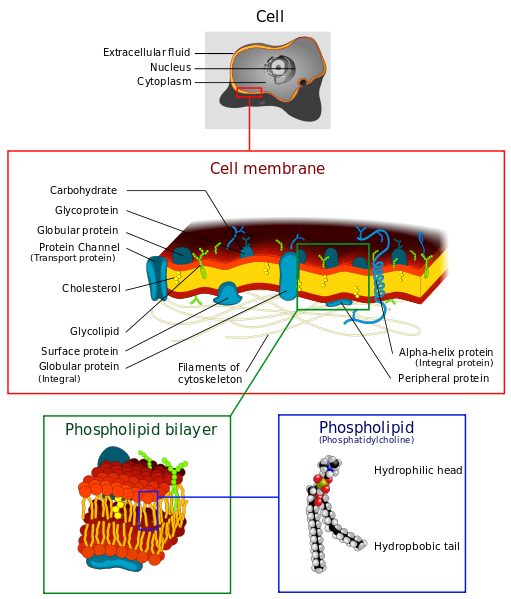 the cell transport mechanisms and cell Passive transport is a movement of ions and other atomic or molecular  substances across cell  mechanisms for chemical transport through biological  membranes passive transport simple diffusion (or non-mediated transport)  facilitated.