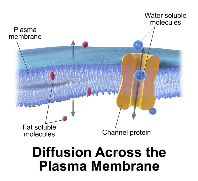 When does water stop moving across a membrane?