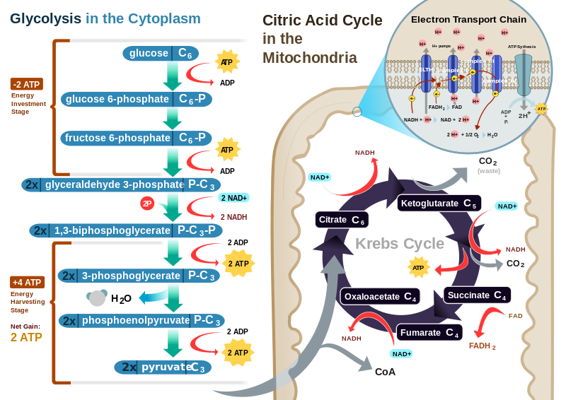 Steps of Cellular Respiration