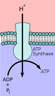 Depiction of ATP synthase using the chemiosmotic proton gradient to power ATP synthesis through oxidative phosphorylation.