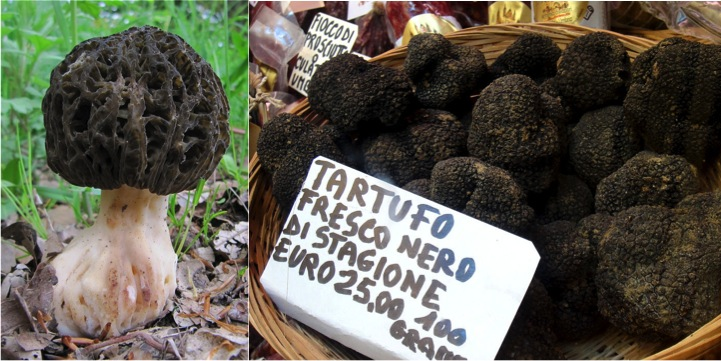 Morel mushrooms (left) and truffles are ascomycetes.