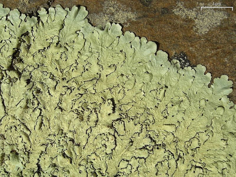 Some lichens can grow directly on rock.