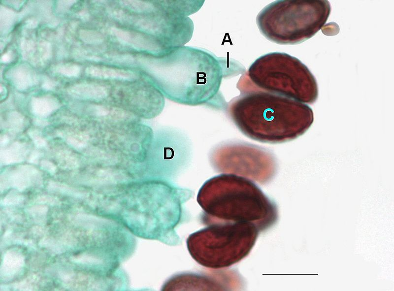 Closeup of Coprinus with the edge of the gills where basidium can be seen with basidiospores. A=Sterigma, B=Basidium, C=Basidiospore, D=Immature basidia.