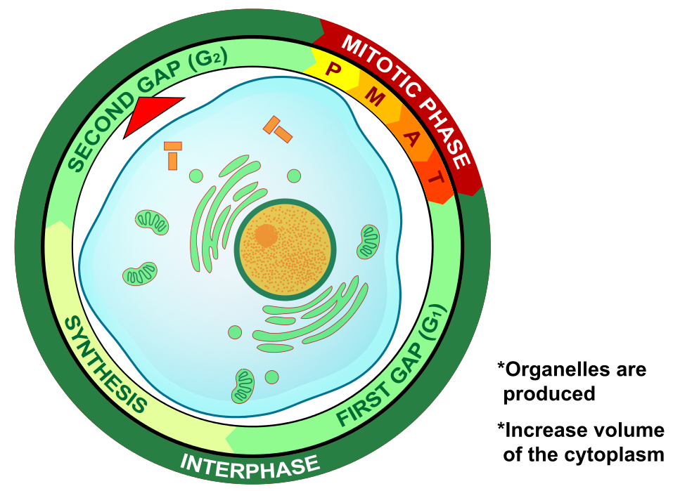 G2 Phase of Interphase