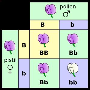 Punnett square for Mendel's pea color.