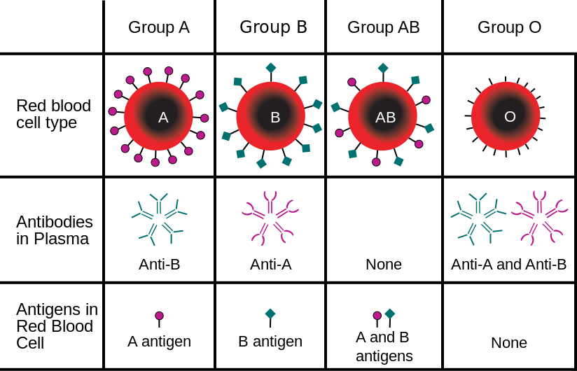 Diagram of ABO blood groups and the antibodies present in each.