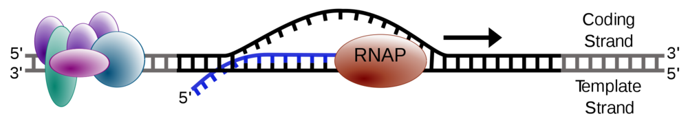 Elongation phase of transcription