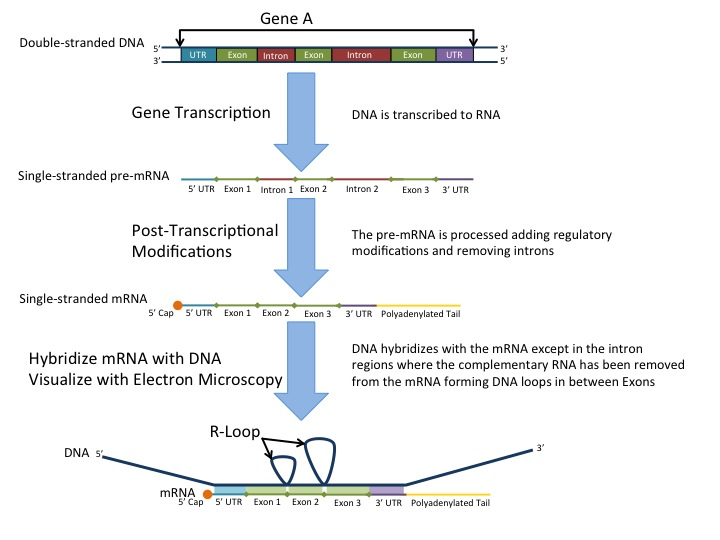 Post-transcription modification in eukaryotes: RNA splicing