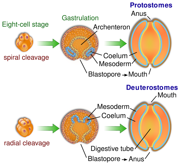 "Developmental differences between coelomates: the  protostomes  and  deuterostomes   .   In deuterostomes blastula divisions is called "" radial cleavage "" because it occurs parallel or perpendicular to the major polar axis. In protostomes the cleavage is called ""spiral"" because division planes are oriented obliquely to the polar major axis. During  gastrulation , protostomes embryos' mouth was given first by the  blastopore  while the anus was formed later and   vis versa   for the deuterostomes.   In protostomes, the coelom develops by blocks of mesoderm hollowing out. In d  euterostomes,   the coelom develops   from pockets of mesoderm near   the endoderm pinching off to eventually becoming a coelom."