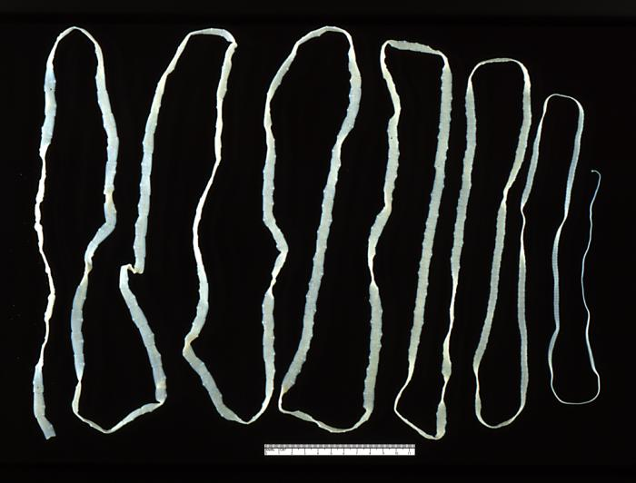Cestode in Phylum Platyhelminthes.  Characteristics of all Platyhelminthes include an evolutionary loss of coelom, yet bilaterally symmetrical and triploblastic. Cestodes are internal parasites of animals that have evolutionarily lost their mouth parts and digestive system, absorbing digestive food from their host directly.
