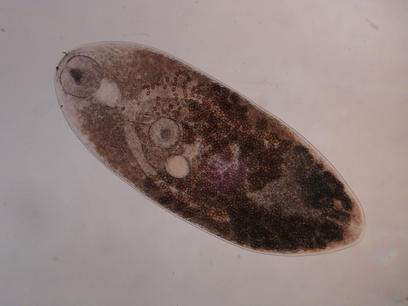 Trematode in Phylum Platyhelminthes.  Trematodes are also internal parasites of animals. But unlike cestodes, trematodes retain mouthparts and a digestive system.