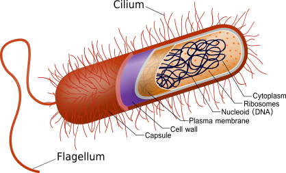 Figure 7.   Cell movement in unicellular organism by cilia and flagella.  One function of the cytoskeleton allows unicellular organisms to move. Cilia are multiple, small protuberances of filaments that emerge beyond the cell membrane, which beat in a wave-like fashion allowing cell movement and move nutrient-rich water across the surface. Larger filaments, known as flagella, extending from the cytoskeleton whip in a back and forth motion allowing for a highly efficient form of mobility.