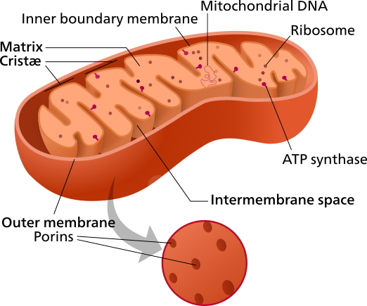 Figure 8. Structures of a mitochondrion. The mitochondrion is a double-membraned organelle within eukaryotes involved in aerobic respiration. The outer membrane have proteins, called porins, that allow up to medium sized molecules in and out of the mitochondrion, generating an aqueous solution in the intermembrane space similar to the cytosol. However, large proteins made by the mitochondrion remain. The inner membrane is highly folded into structures known as cristae and is primarily responsible for oxidative phosphorylation in the electron transport chain, with the protein, ATP synthase, ultimately generating most of the ATP produced during cellular respiration. The environment inside the inner membrane, known as the matrix, contains a variety of enzymes (most notably those responsible for the citric acid cycle) and residual mitochondrial DNA capable of synthesizing its own RNA and proteins.