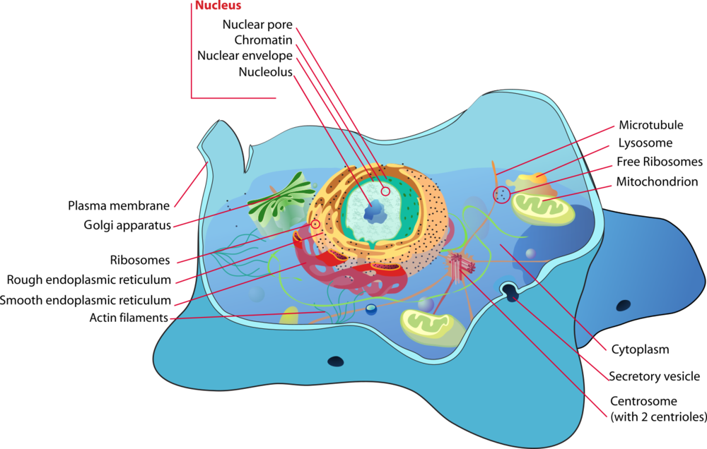 Figure 12. A typical animal cell. Plant cells have many of same internal cellular structures and organelles as animals cells, with a few exceptions. While both animal and plant contain vacuoles useful for water and nutrient storage, a plant cell's vacuoles is enormous by comparison. This is a result of an immotile life style, and being dependent on rain. Animals in contrast are motile, and either live in water or are capable of moving to search for water.