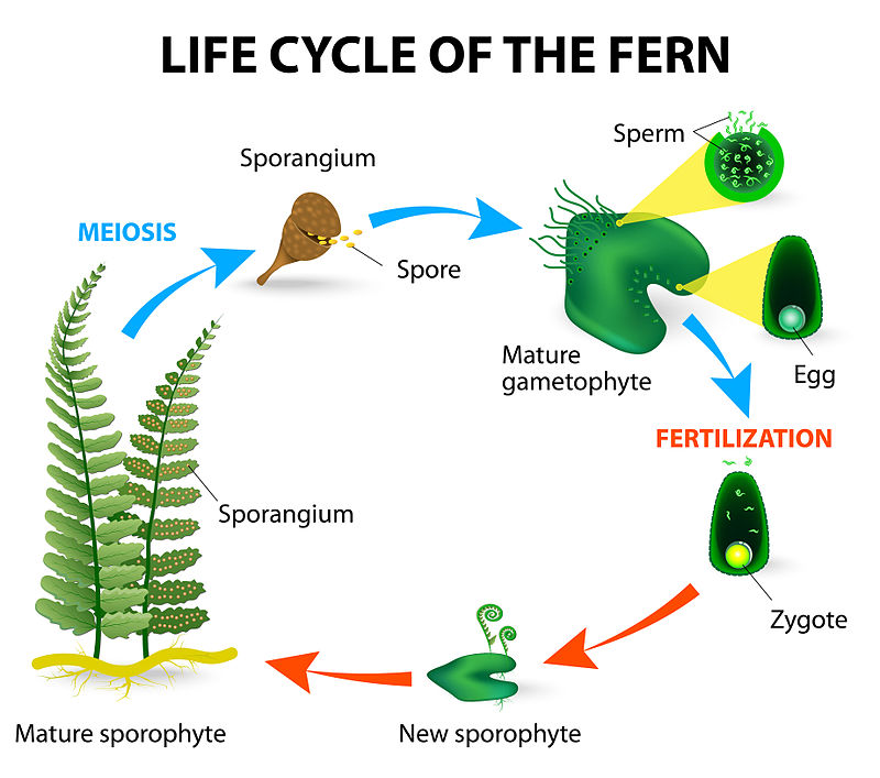 Plant reproduction the biology primer all non vascular plants and most seedless vascular plants are homosporous producing one type of spore either male or female giving rise to the ccuart Image collections