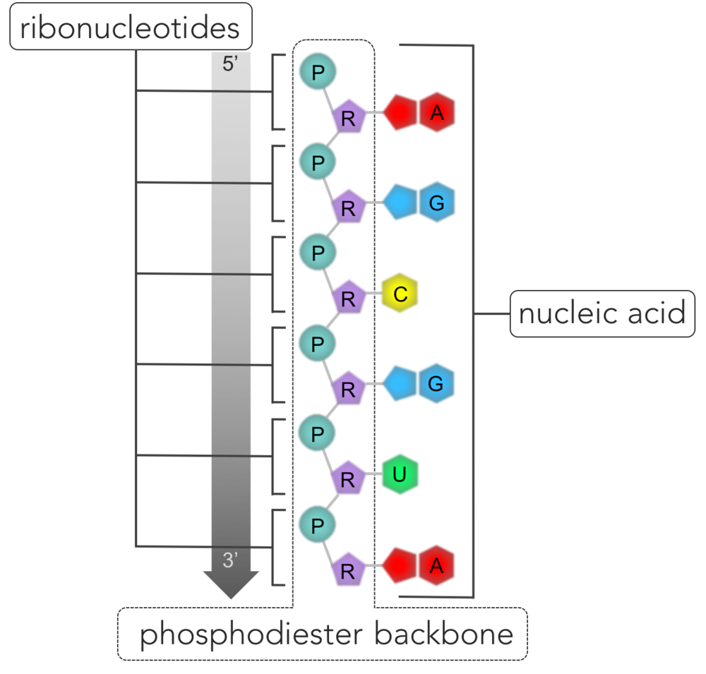 Figure 6.   RNA.  Nucleic acids are polymers composed of a single strand (as in RNA) or two strands (DNA) of nucleotides connected by phosphodiester bonds. The repeating pattern of connected phosphate groups (P) and sugars (R) connected form the phosphodiester backbone, while the nitrogenous bases (A, U, C, and G in the case of RNA) hang off the side. One side of the strand of the nucleic acid is bounded by a phosphate group (denoted the 5' end) and a sugar group is located on the opposite end (denoted 3').