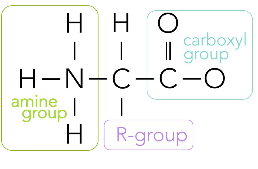 Figure 11.   Primary structure of an amino acid.  An amino acid is composed of an amine group, a central carbon, a carboxyl group and an R-group. R-groups vary from amino acid to amino acid.