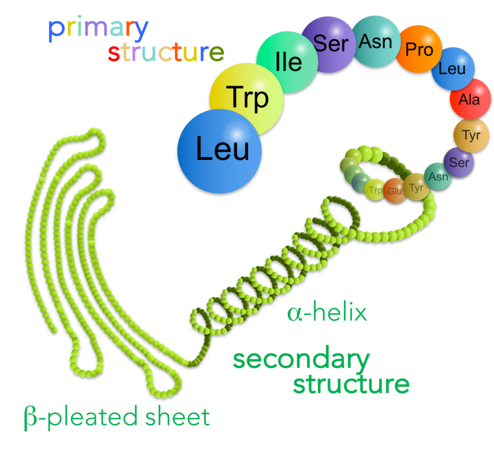 Figure 15.   Primary and secondary structure of proteins.  A protein's primary structure is the sequence of amino acids. Secondary structure is created by repeating molecular interactions between the carboxyl and amino groups, forming either alpha-helices or beta-pleated sheets.