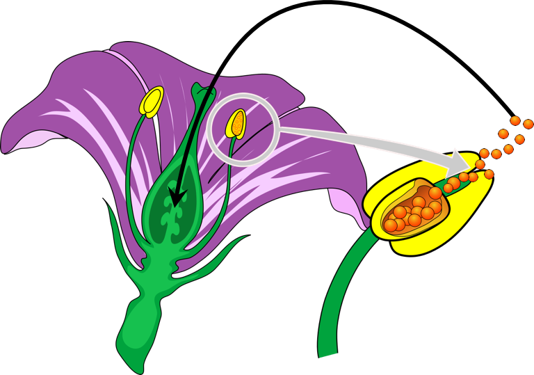 Figure 1.  Self-pollination produces pure lines.  Mendel completed a controlled self-pollination to produce true-breeding plants, which exhibited identical phenotypes (or physical characteristics) as the parent.