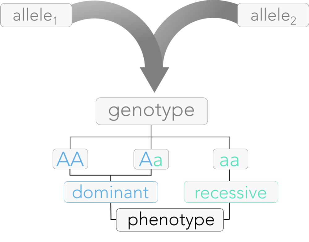 Figure 3.  Principle of Dominance.  A phenotype of an individual is determined by the combination of alleles, known as genotype. During fertilization, gametes carry exactly one allele from each parent. If both alleles are the same (homozygous), that specific phenotype is expressed. If an organism has one of each allele (heterozygous), the organism expresses the dominant characteristic.