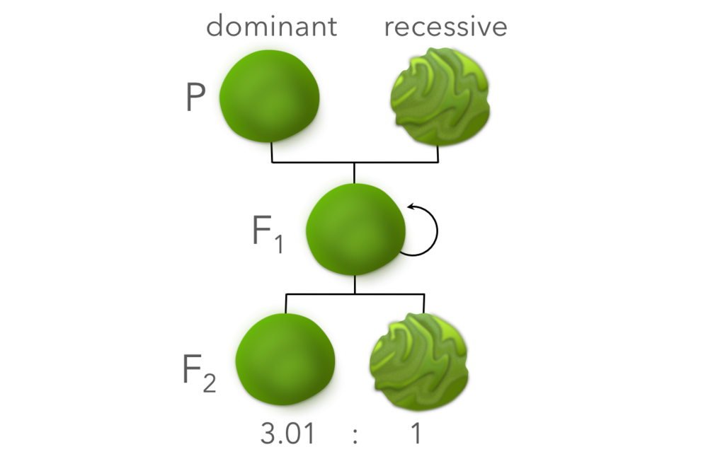 Figure 4.  Phenotypic expressions of Mendel's experiment.  Seeds resultant from self-pollination were grown out producing pure lines of the P generation. Cross-pollination of the P generation produced the F1 generation (hybrids) which expressed round seeds, indicating round as the dominant phenotype and wrinkly as the recessive phenotype. F1 plants were crossed producing the F2 generation, in which approximately 3 dominant phenotypes were expressed for every recessive.