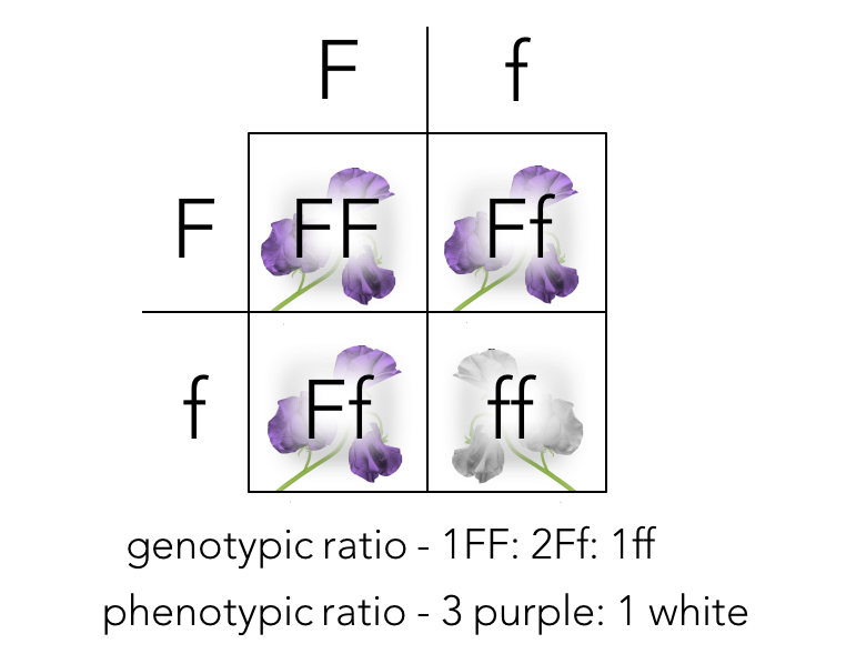 Figure 6.  Punnett square of a monohybrid cross.   Ff  X  Ff  produces the F2 generation.