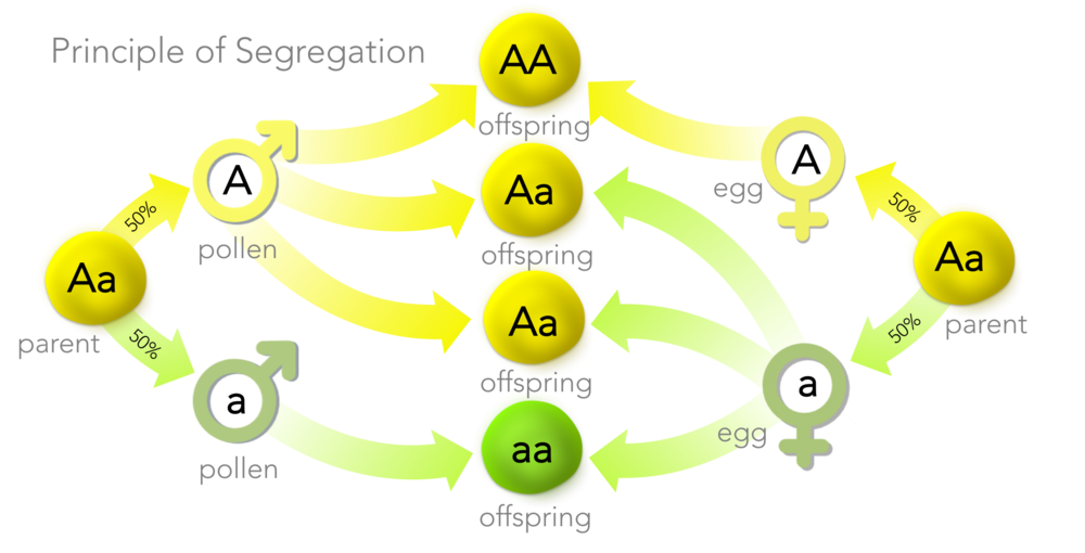 Figure 7.  Principle of Segregation.  Mendel discovered organisms have two copies of a gene (but potentially different alleles, as is the case with heterozygotes ( Aa ). In the production of gametes, each gamete receives exactly one copy of a gene, at random. During fertilization, gametes fuse at random producing a new organism.  The Principle of Segregation explains Mendel's 3 dominant: 1 recessive ratio in the F2 generation.