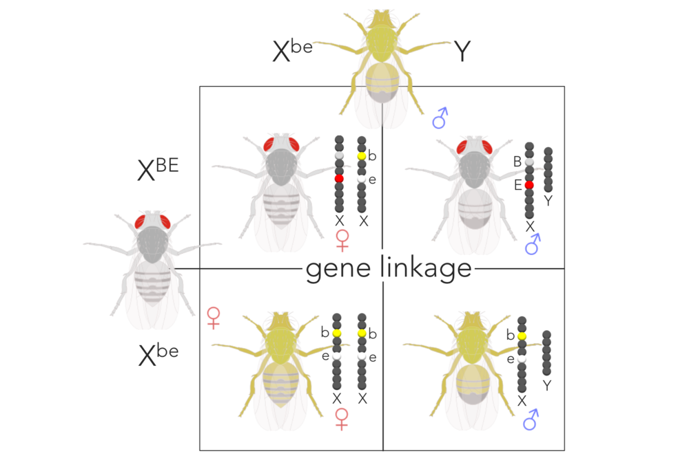 Figure 12.   Expected phenotypic ratio of XBEXbe  x  XbeY supporting gene linkage.  Removing sex from the ratio, the expected phenotypic ratio supporting gene linkage is 1 red/grey : 1 white/yellow.