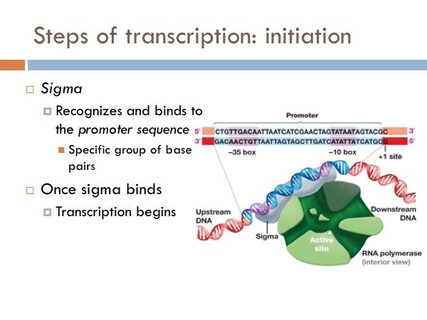 Chapter: Transcription & Translation — The Biology Primer