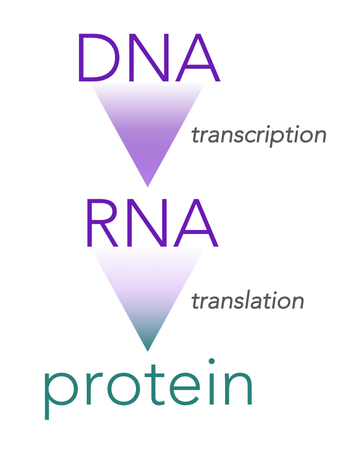 Figure 1.   The Central Dogma of Molecular Biology.