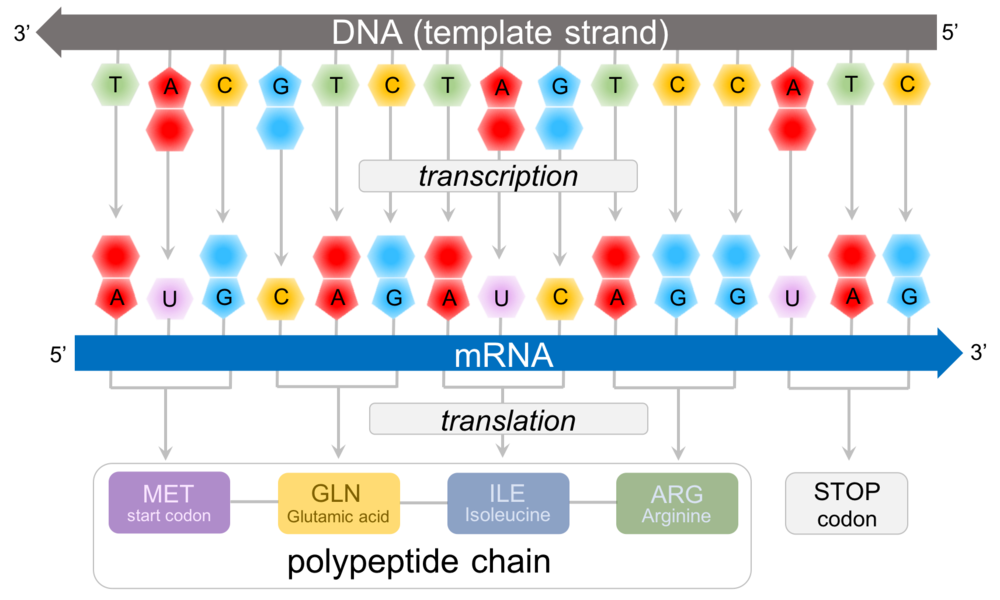 Figure 4.   Predicting polypeptide chains from DNA.  In this example, the template strand of DNA (the strand that transcribes into RNA) is: 3' - TAC GTC TAG TCC ATC - 5'. This is transcribed into the mRNA strand: 5' - AUG CAG AUC AGG UAG- 3'. Consulting the amino acid chart (Fig. 4), we can predict the sequence of amino acids for this protein: methionine(START CODON)-glutamic acid-isoleucine-arginine-STOP.