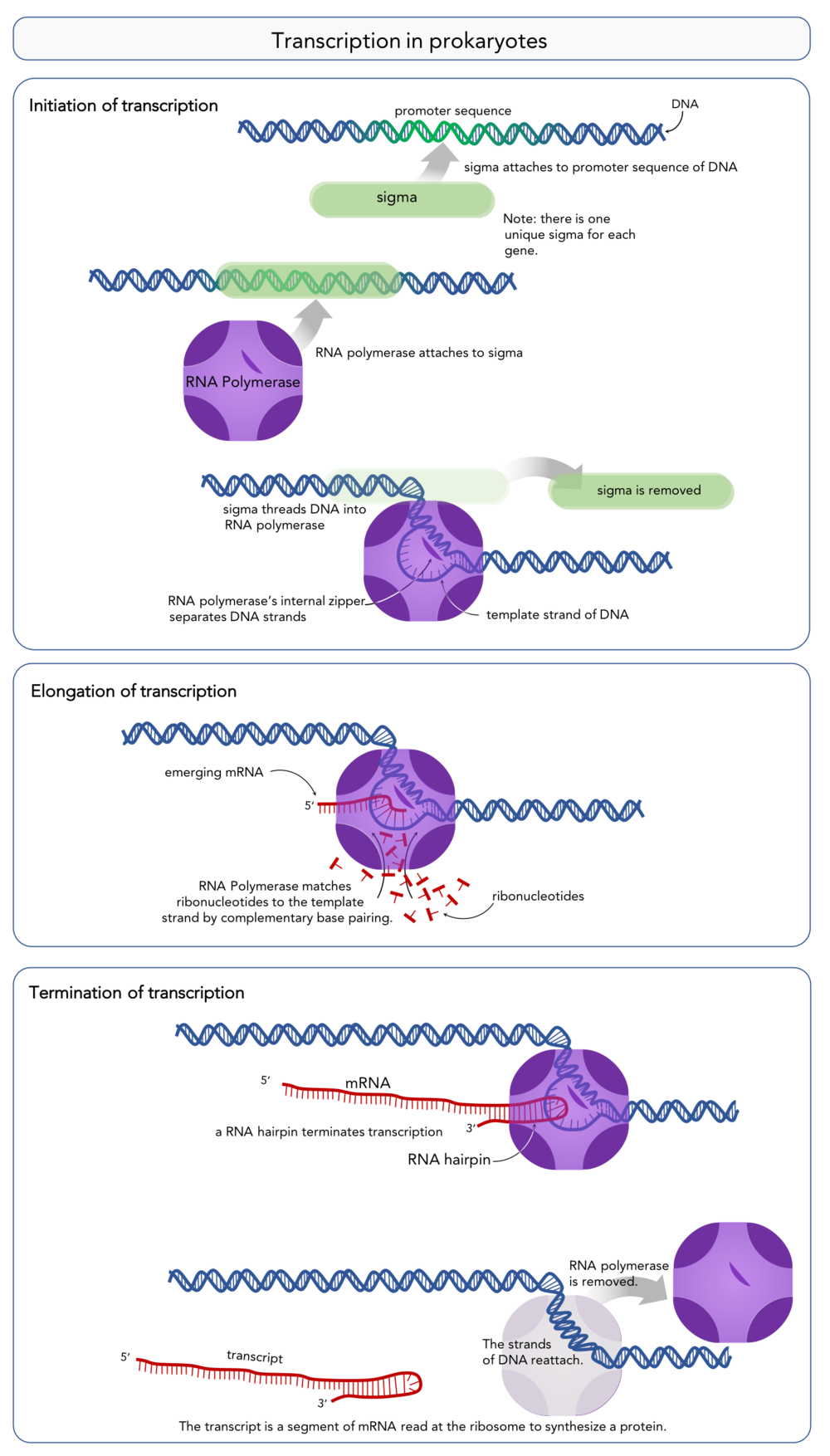 Figure 9.  Steps of transcription in prokaryotes.
