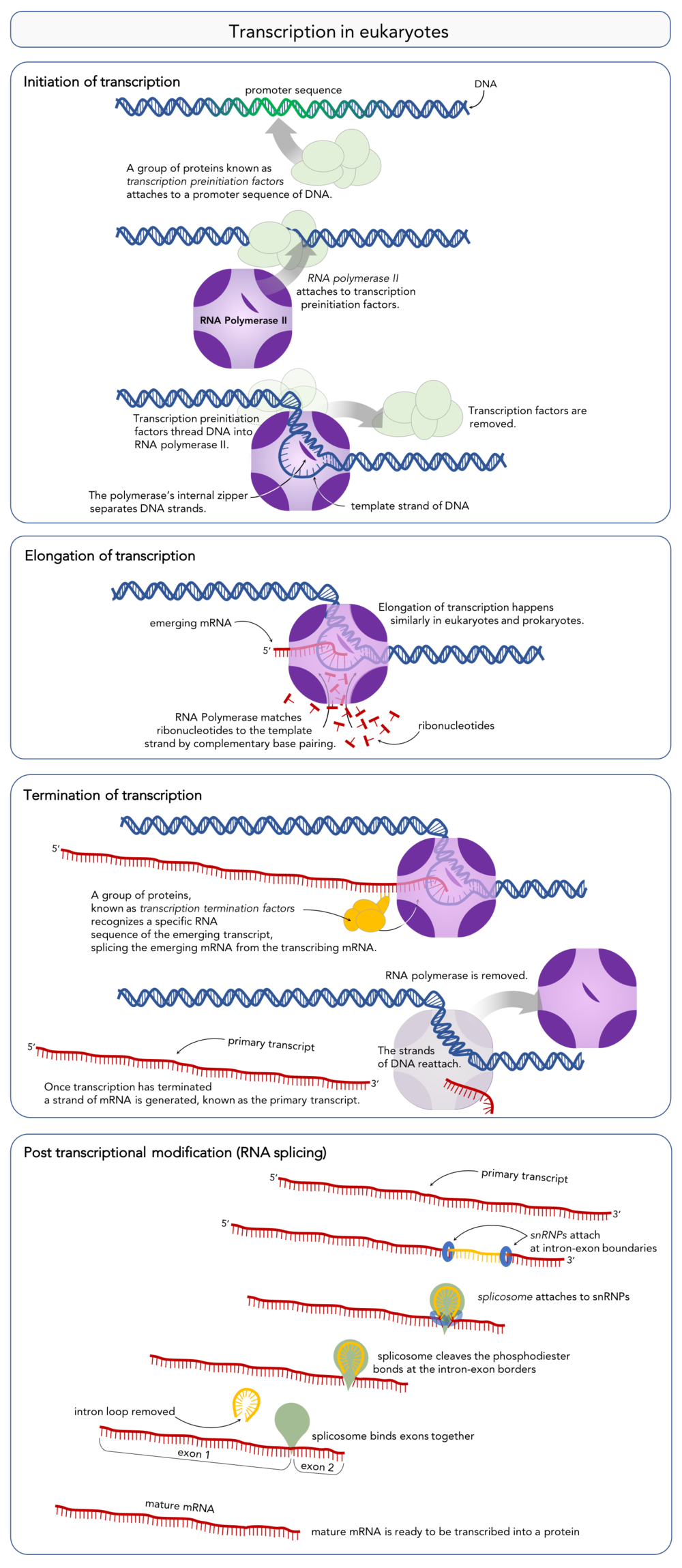 Figure 10.   Steps of transcription in eukaryotes and RNA splicing.