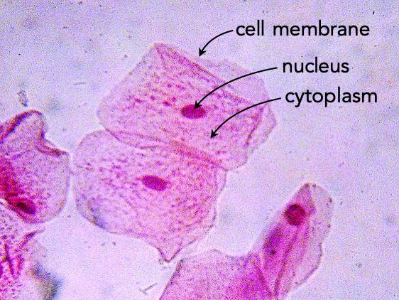 Fig. 5.  Human cheek cells.
