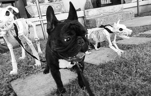 Spooky Shiner 👻👻👻 #happyhalloween #scarydogs #spooky #nashville @mickeymacelroy