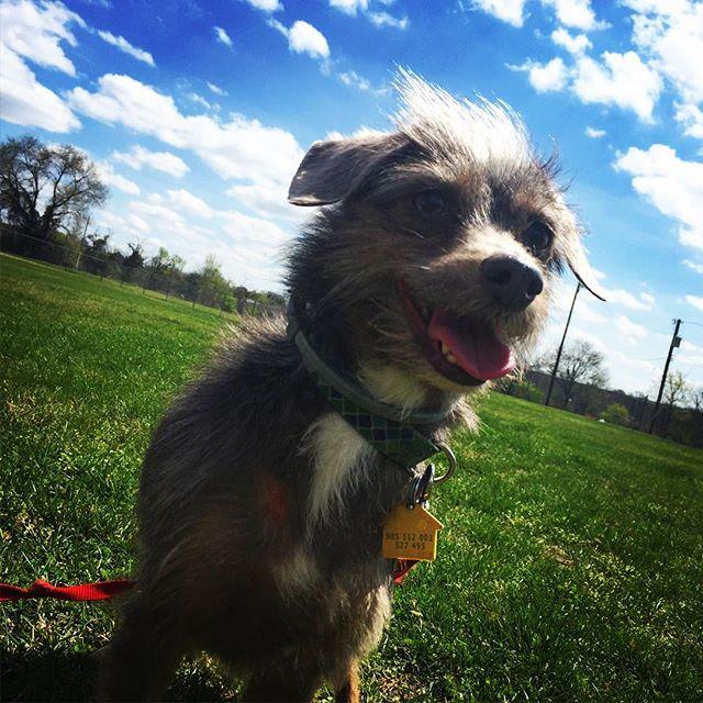 Boo👻 says hi! #coolkidhair #Nashville #dogsofinstagram #scruff