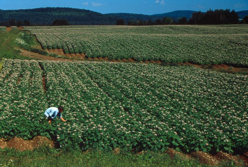 PHOTO CREDIT: Above photo of a potato field in Presque Isle, Maine is from  LocationsHub.com  .