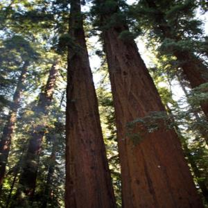 Redwood_Majesty___Flickr_-_Photo_Sharing_.jpg