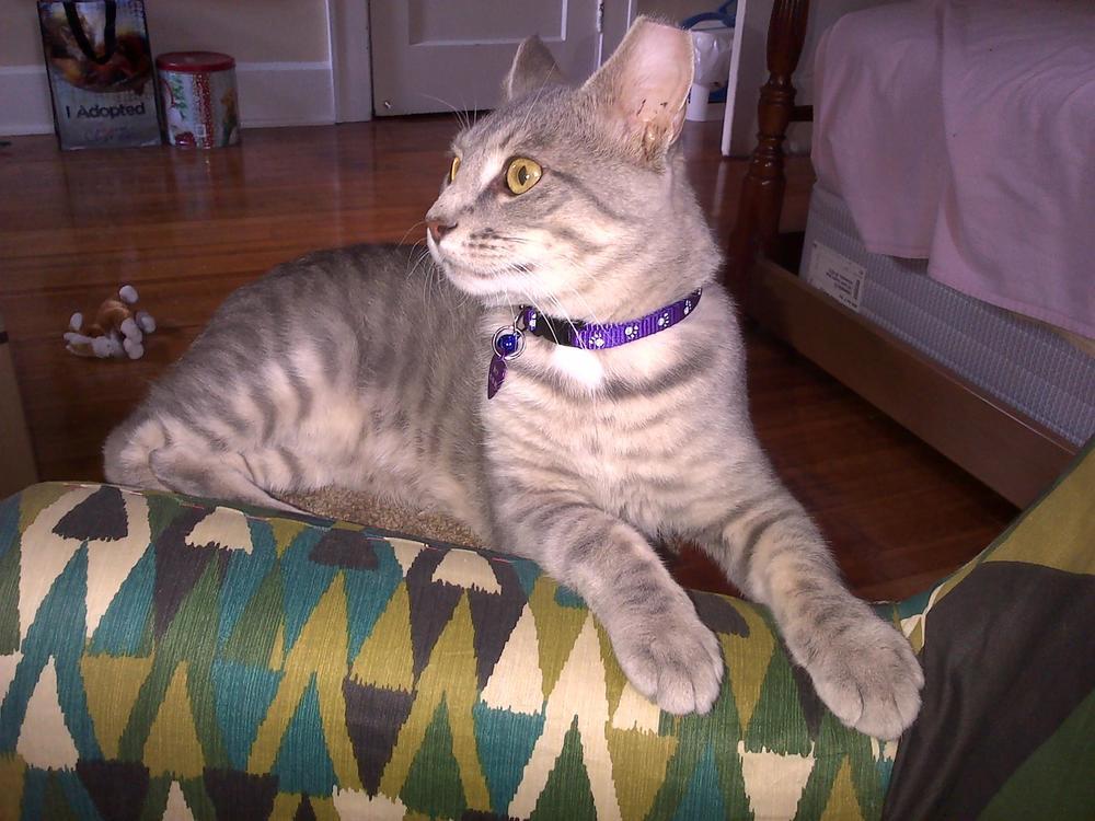 Bryn a formally feral cat from Korin - Copy.jpg
