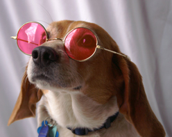 Rose-color glasses dog.jpg