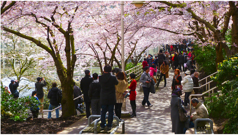 Cherry Blossoms at Burrard Station in Vancouver. | Image: Vancouver Cherry Blossom Festival.