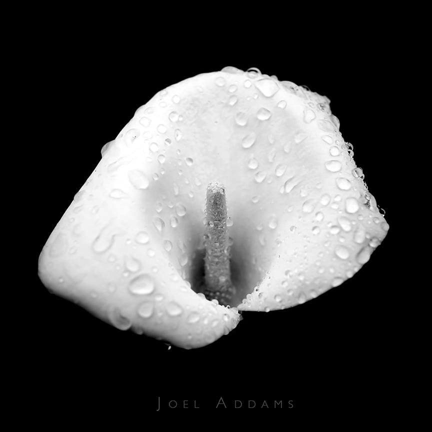 """White Flower"" 12x12/8x8 Metallic Print, Edition of five prints by Joel Addams"