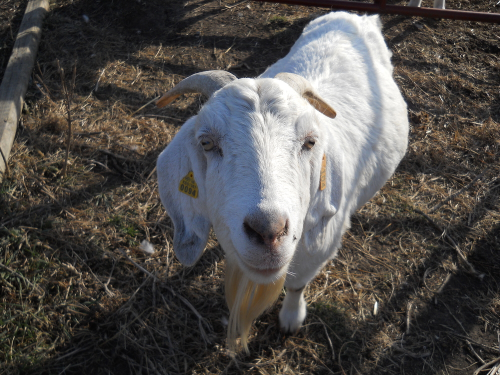 Hee Haw Farms Goat